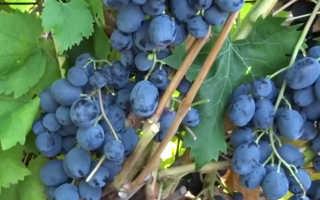 Сорта винограда: 16 лучших для Подмосковья и средней полосы