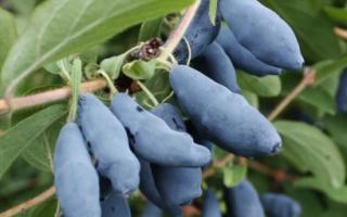 Чем удобрять жимолость также весной и чем удобрять растение перед цветением