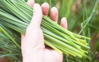 Необыкновенный лук шнитт – выращивание из семян и его агротехника
