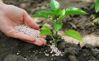 Чем подкормить рассаду перца для роста: удобрения, сроки