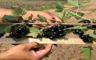 Выращивание смородины: ТОП 5 мифов о ягоде + фото и советы!