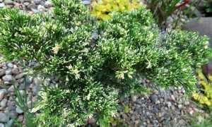 Казацкий можжевельник вариегата – описание декоративного растения