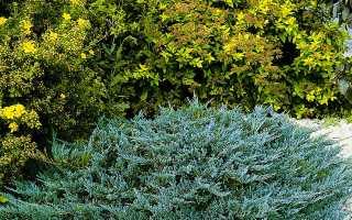 Можжевельник стелющийся: фото, виды, правила выращивания