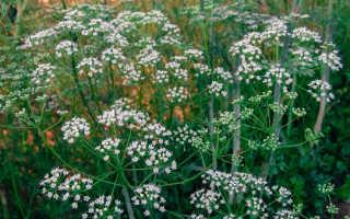 Выращивание аниса: посадка и уход в открытом грунте, фото аниса