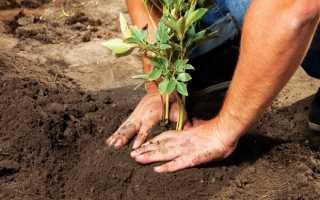 Когда можно пересаживать пионы: весной, летом или осенью?