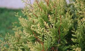 Туя складчатая – разновидности сорта растения, их описание