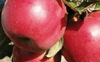 Описание яблоневого сорта под названием Красное раннее