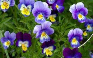 Фиалка трехцветная: лечебный свойства, описание растения, фото