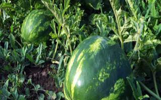 Выращивание арбузов поэтапно – от семечка до крупной ягоды