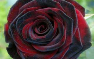 Роза Черная магия: характеристики сорта, правила выращивания