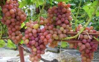 Ранний виноград – ранние сорта описание + фото
