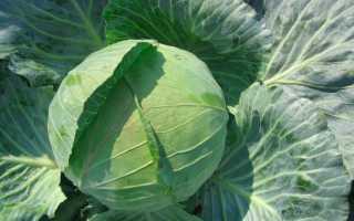Капуста: выращивание и уход в поле, вредители и болезни