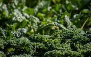 Выращивание брокколи в открытом грунте – уход, особенности +фото