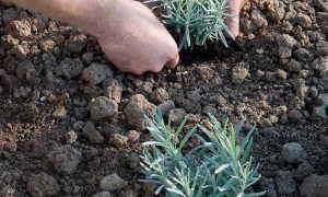 Посадка лаванды и уход – простые правила выращивания