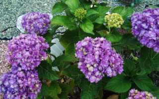 Сорта гортензии крупнолистной, цветущие на прошлогодних побегах