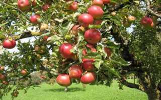 Яблоня Штрейфлинг – описание сорта, фото, как выращивать