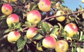 """""""Юбиляр"""" – неприхотливая разновидность сорта яблонь"""