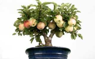 Семена для выращивания – как посадить яблоню