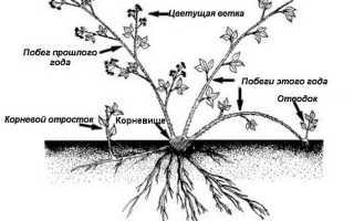 Ежемалина – простая инструкция по выращиванию