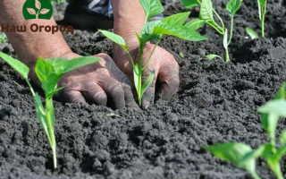 Сладкий перец на огороде: выращиваем бех хлопот