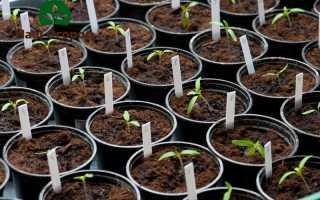 Выращивание рассады: 9 самых важных правил!