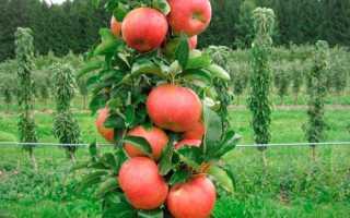 Яблоня столбиковая: посадка и уход, обрезка и размножение, описание сортов и фото