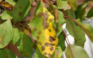 Листья яблони начали желтеть – что делать? Советы и практики