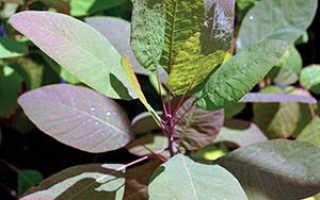 Скумпия – характеристика цветка, выращивание и уход