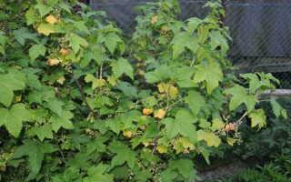 Желтеют листья смородины: причины, борьба, профилактика