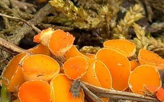 Какие грибы появляются ранней весной