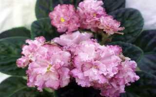 Фиалка Кира: виды, выращивание, фото и видео