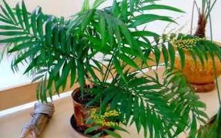 Хамедорея и рапис – тропические бамбуковые пальмы